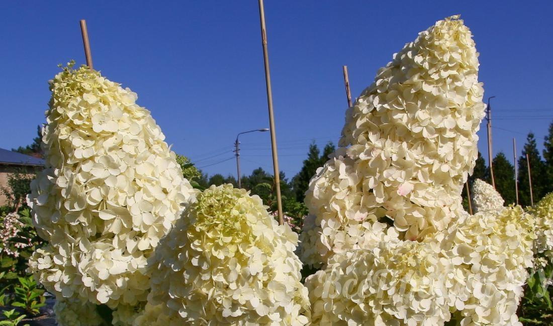 Гортензии — виды, особенности выращивания в средней полосе