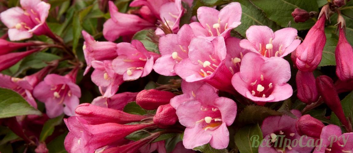 Декоративные кустарники для дачи: 28 цветущих против 18 лиственных