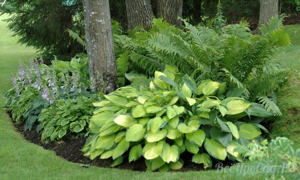 Тенелюбивые растения для сада и огорода