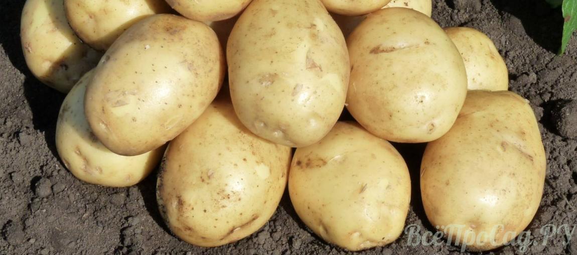 Картофель сорта Гала — выращивание и уход