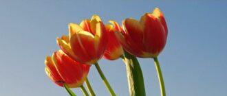 Тюльпаны в открытый грунт — весной или осенью