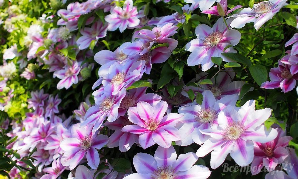 Вьющиеся растения для забора
