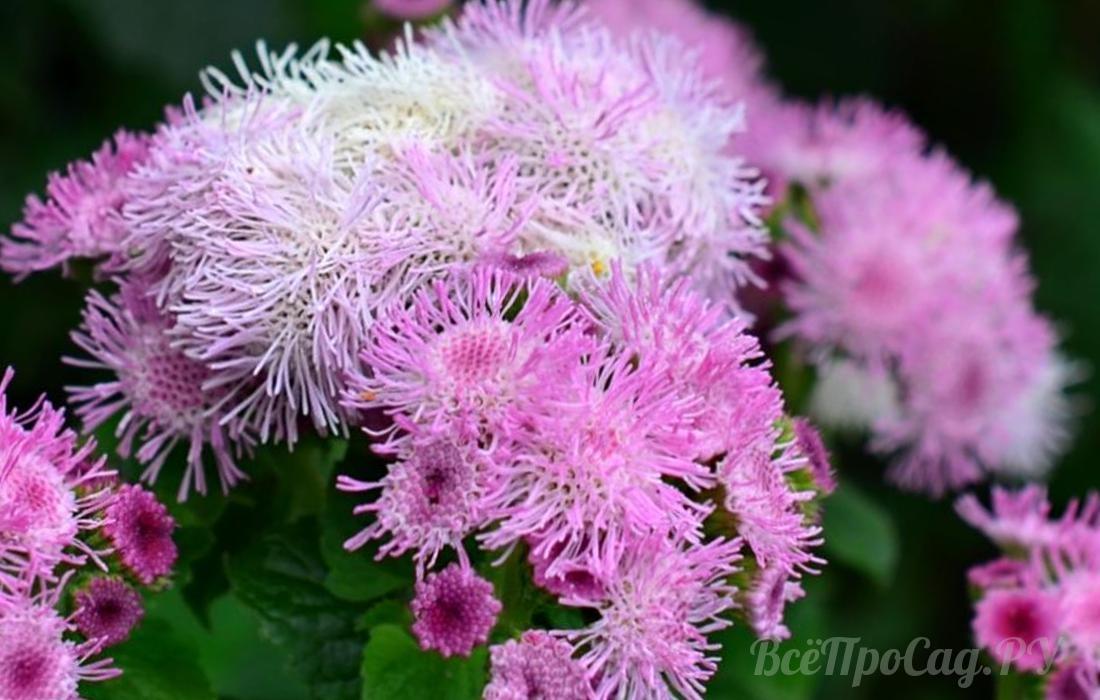 Бордюрные цветы однолетники