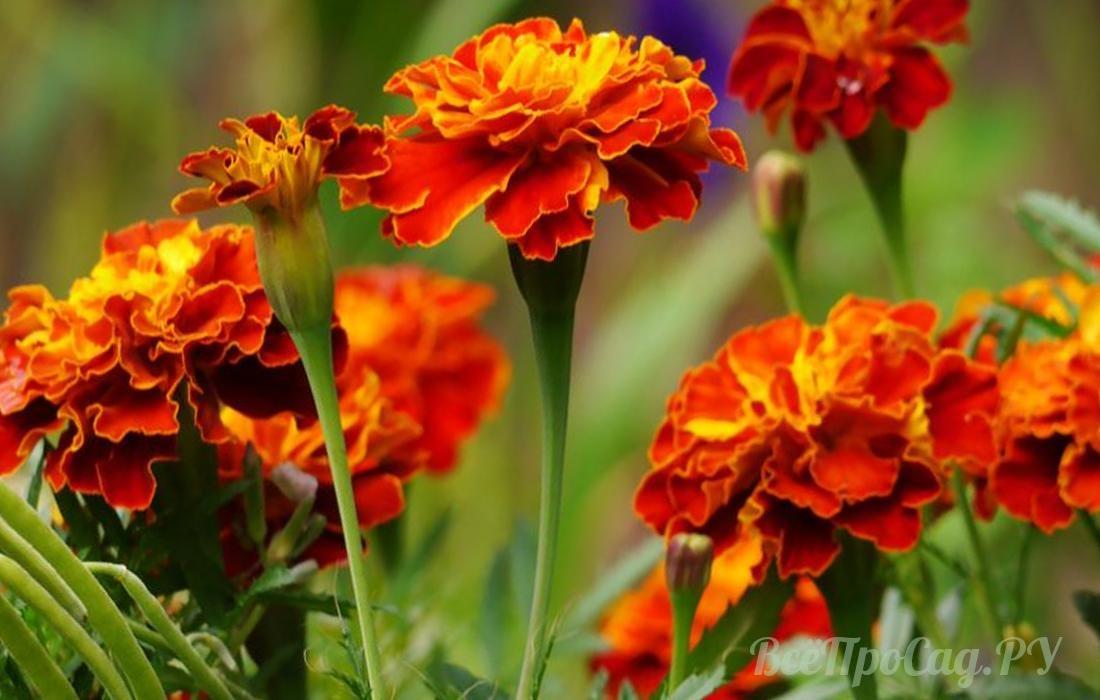 Бордюрные цветы Однолетник